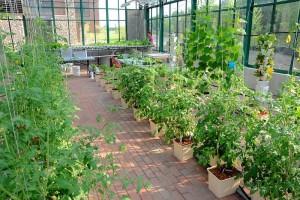 Daržovių priežiūra šiltnamyje