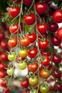 Jau įpusėjo pomidorų sėjimo, pikavimo ir augimo reikalai :)