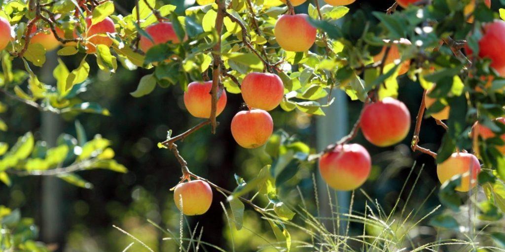 VIDEO: Patarimai apie obelų, bei vaismedžių skiepyjimą