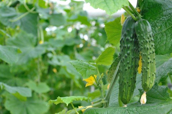 Nauji planai sėjant ir auginant agurkus